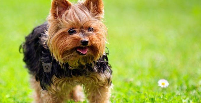 Le caractère du Yorkshire Terrier