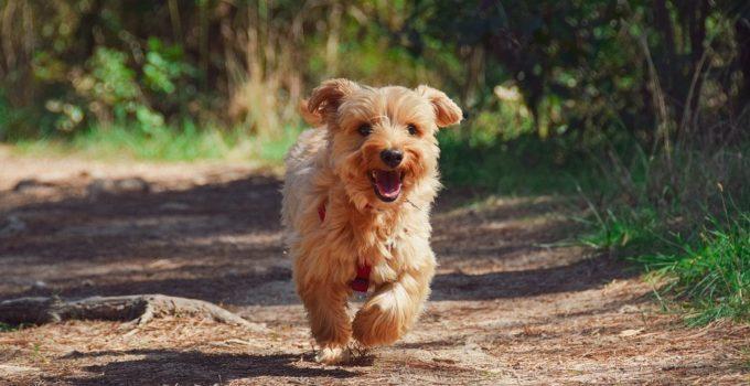 Les différentes races de chiens terrier