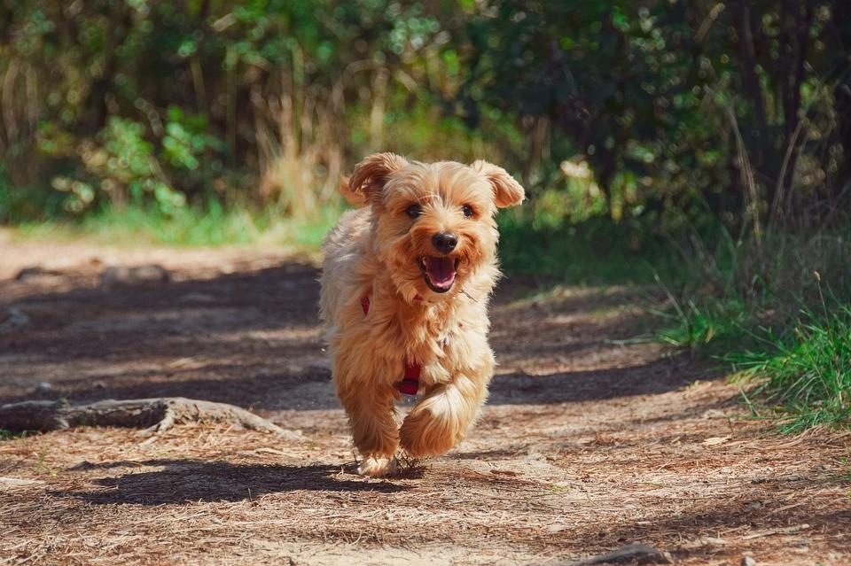 Races de chiens terrier