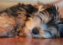 Les habitudes de sommeil des yorkshires terriers