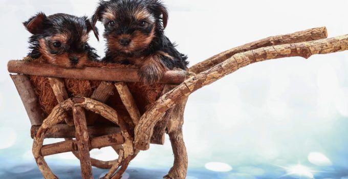 Comment s'occuper des bébés Yorkshires Terriers ?