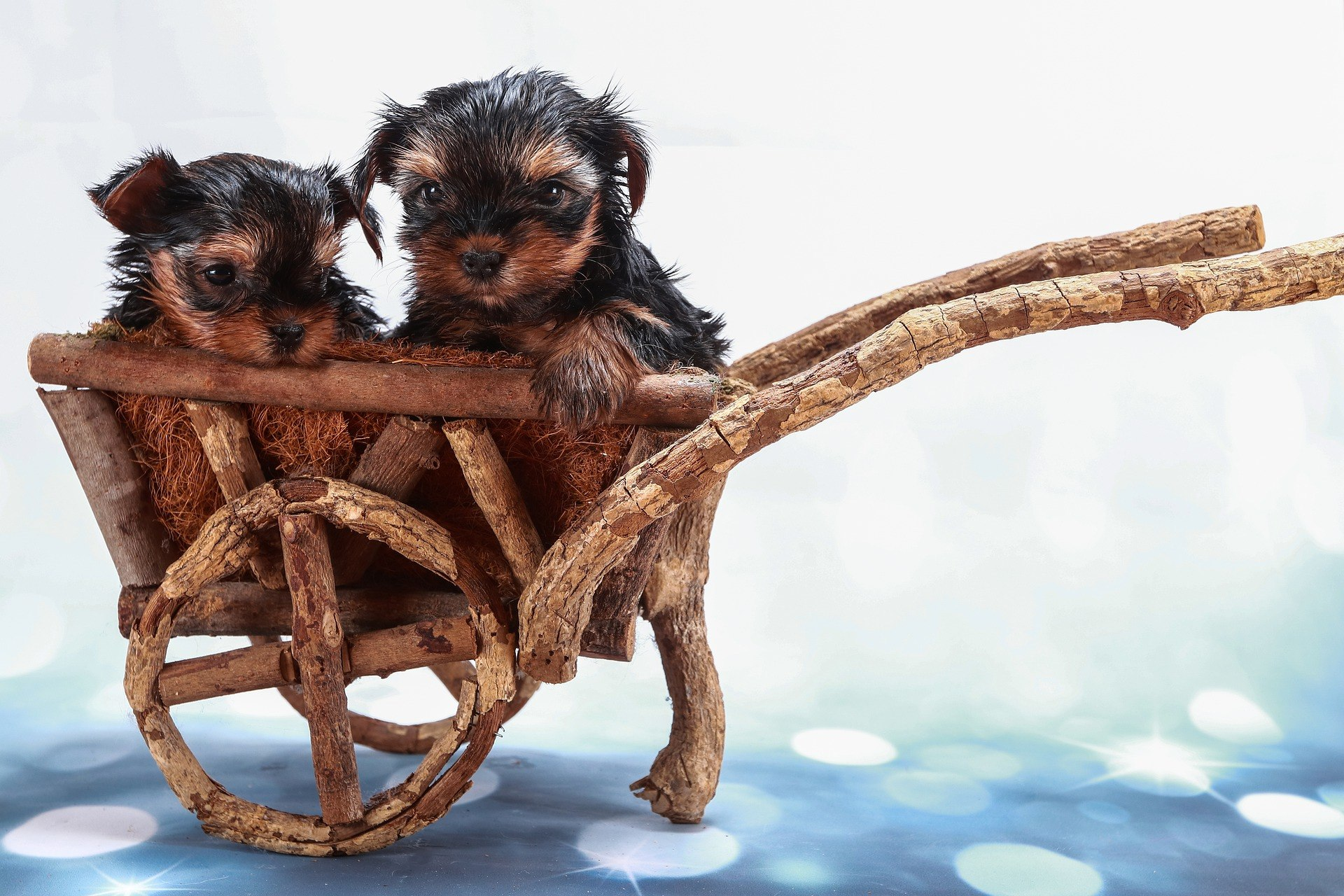 Comment S Occuper Des Bebes Yorkshires Terriers Yorkshire Passion