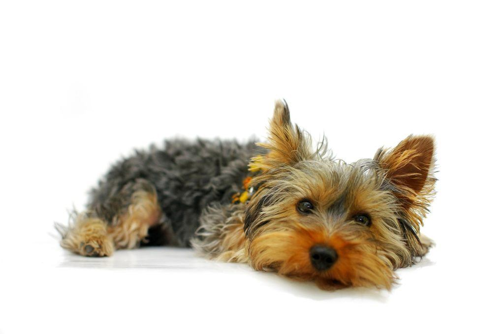 vitamines yorkshire terrier