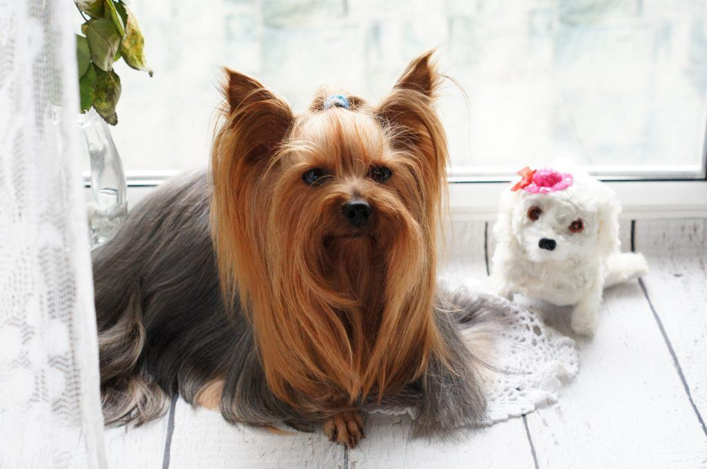 Toilettage Yorkshire Terrier