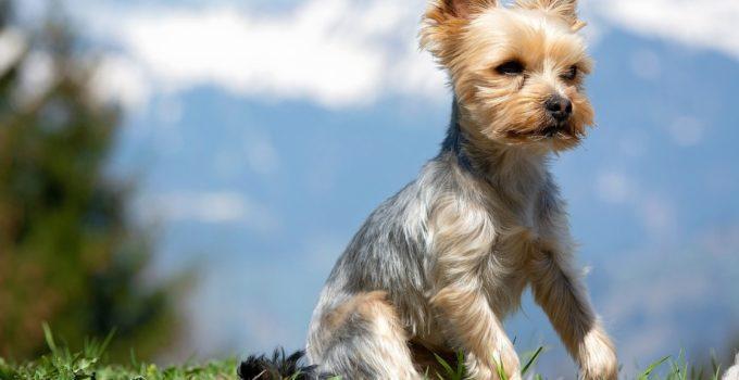 Toilettage d'un Yorkshire Terrier: nos conseils