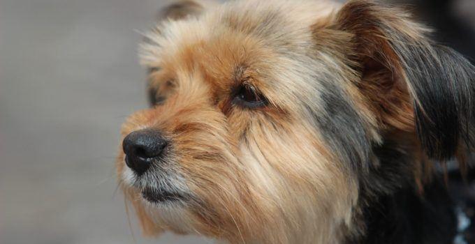 Tout savoir sur l'otomycose des oreilles des Yorkshires terrier