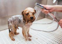 Laver votre chiot Yorkshire terrier: nos conseils